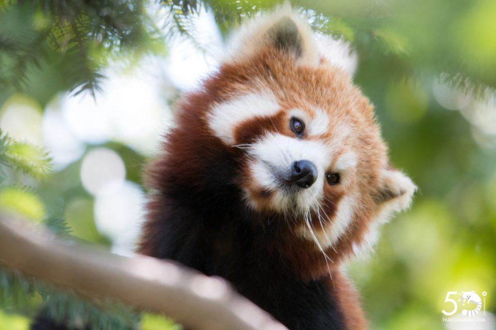 Panda-Rosso---Parco-Natura-Viva.jpg
