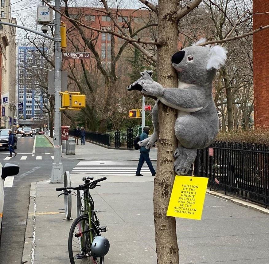 Perché ci sono dei koala appesi ai semafori di New York?