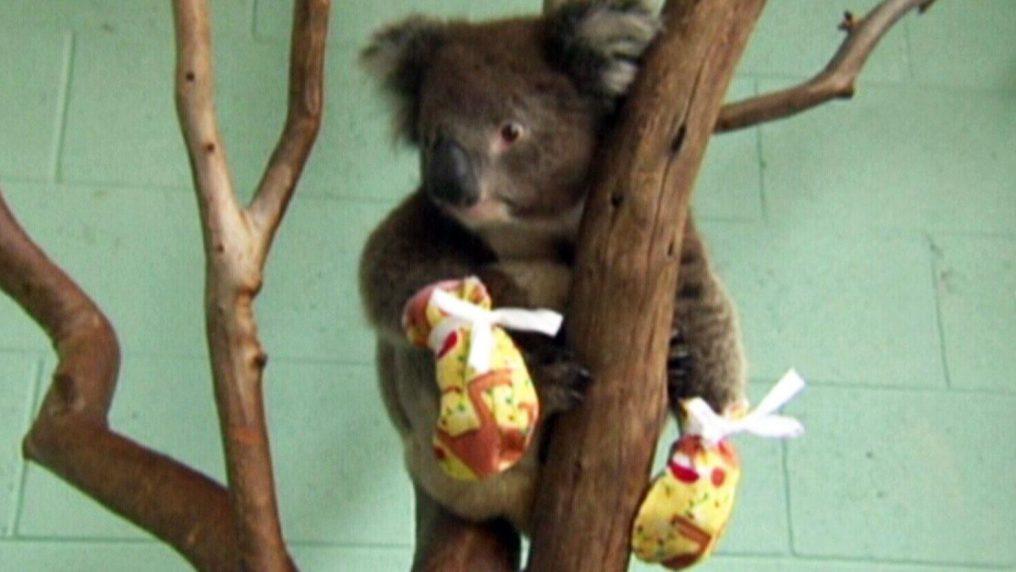 Marsupi per i piccoli canguri e guanti per i koala australiani feriti