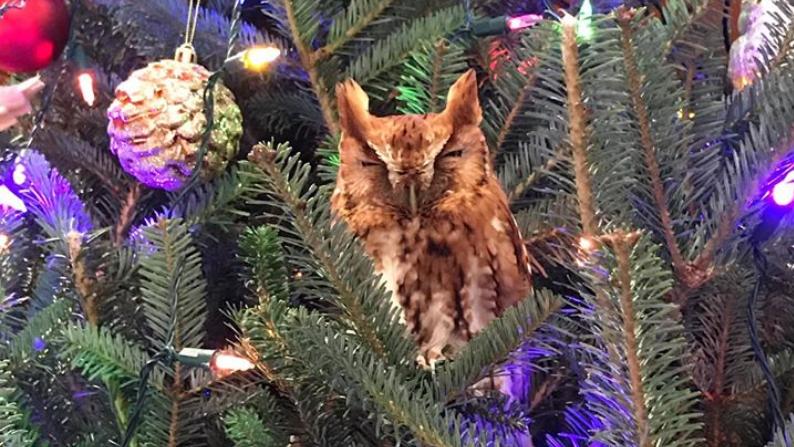 Sembrava un addobbo dell'albero di Natale, ma era un gufetto vivissimo!